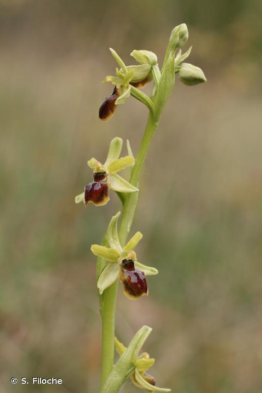 Ophrys virescens