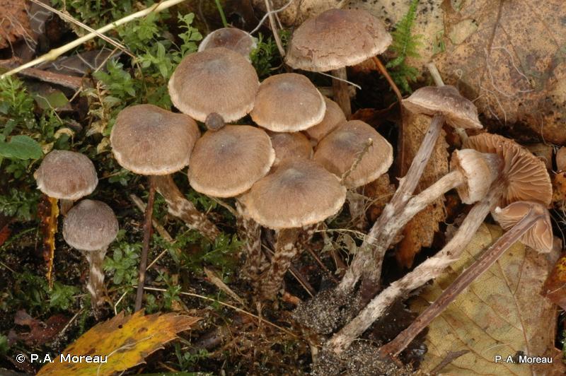 Cortinarius alnetorum