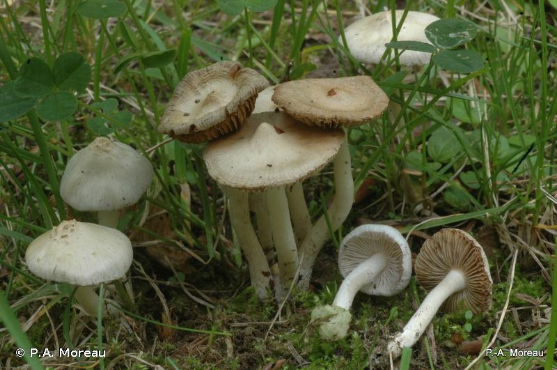 Inocybe geophylla
