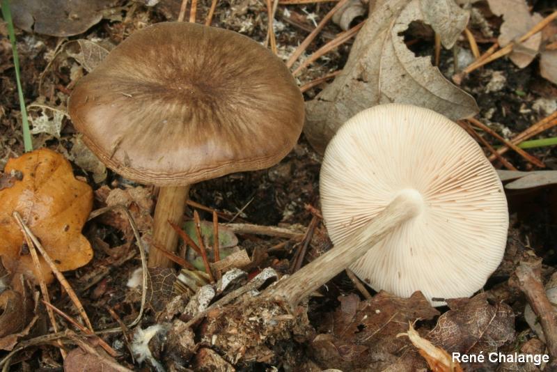 Pluteus brunneoradiatus