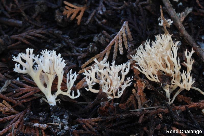 Ramaria gracilis
