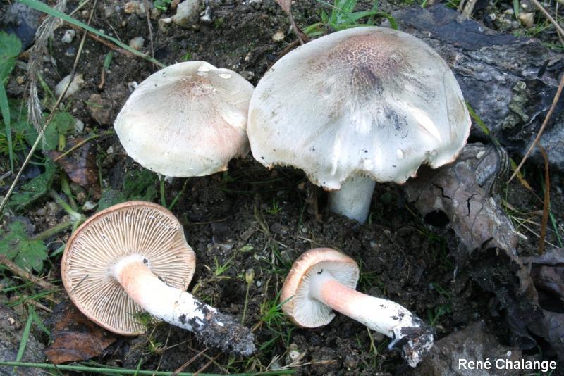 Tricholoma boudieri