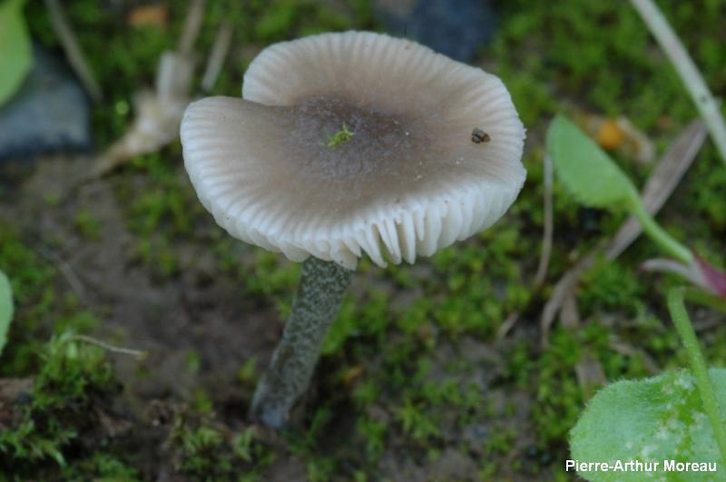 Pluteus diverticulatus