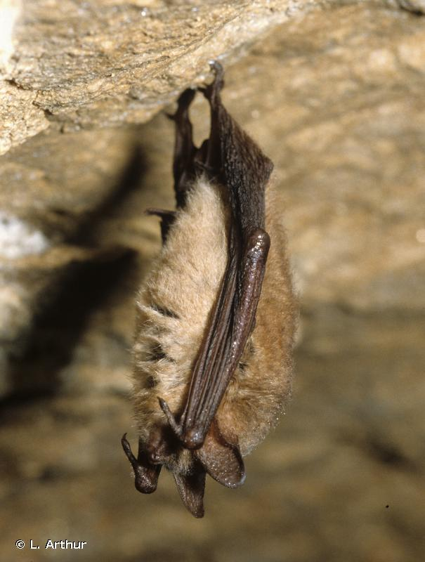 Myotis emarginatus