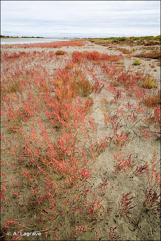 15.11 - Gazons à Salicorne et Suaeda - CORINE biotopes