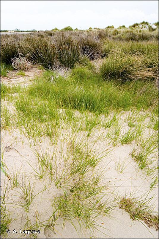 A2.523 - Prés salés ras méditerranéens à <em>Juncus</em>, <em>Carex</em>, <em>Hordeum</em> et <em>Trifolium</em> - EUNIS
