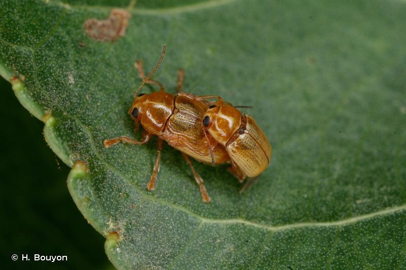 Cryptocephalus ochroleucus