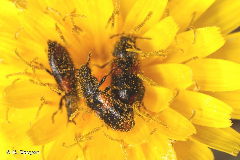 Divales quadrimaculatus