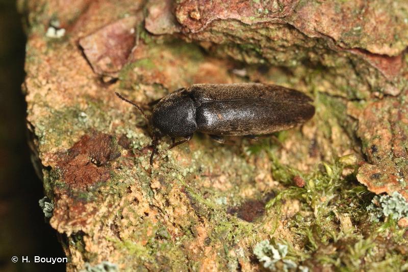 Xylita laevigata