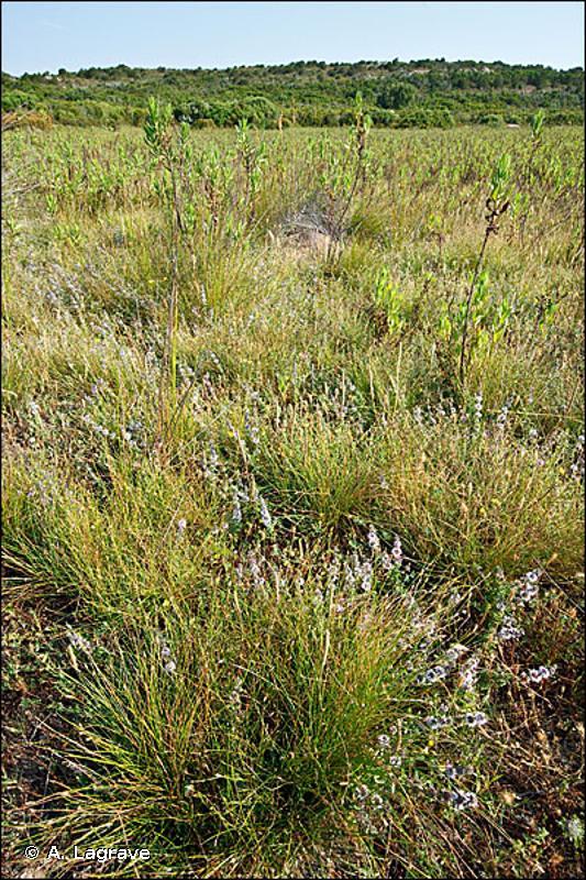 3110-1 - Eaux stagnantes à végétation vivace oligotrophique planitiaire à collinéenne des régions atlantiques, des <em>Littorelletea uniflorae</em> - Cahiers d'habitats