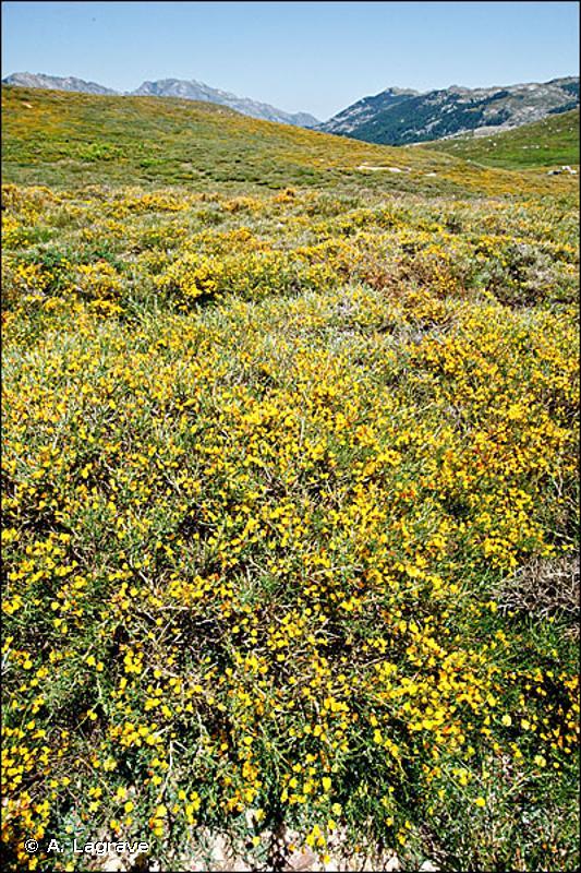 31.754 - Landes épineuses cyrno-sardes à Genista - CORINE biotopes