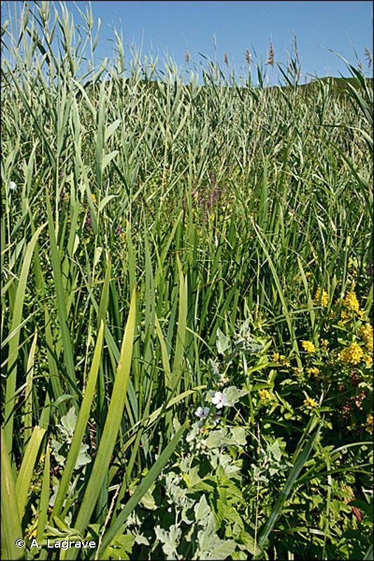 E5.41 - Écrans ou rideaux rivulaires de grandes herbacées vivaces - EUNIS