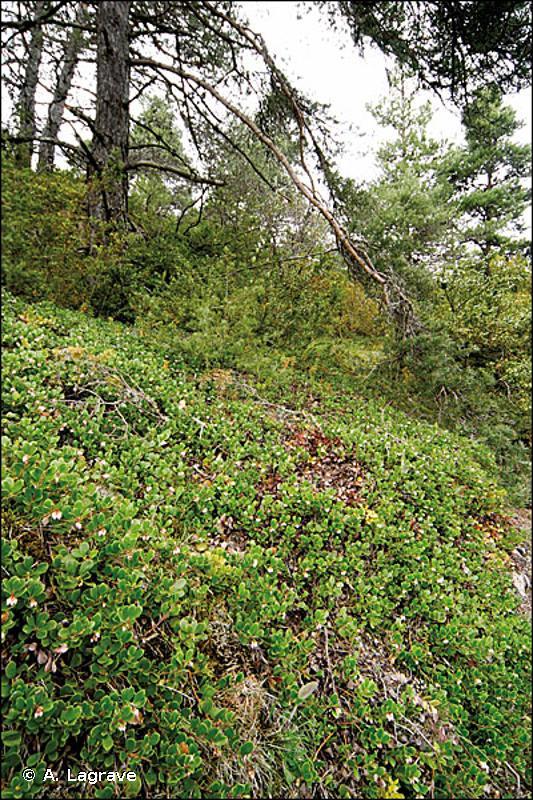42.57 - Forêts de Pins sylvestres du Massif central - CORINE biotopes