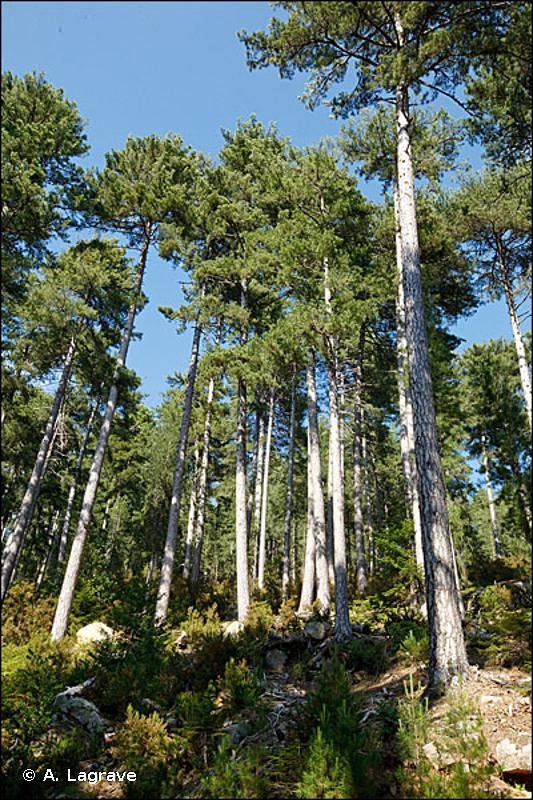 42.6 - Forêts de Pins noirs - CORINE biotopes