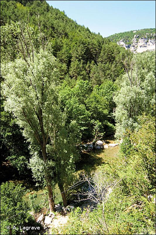 44.141 - Galeries méditerranéennes de Saules blancs - CORINE biotopes