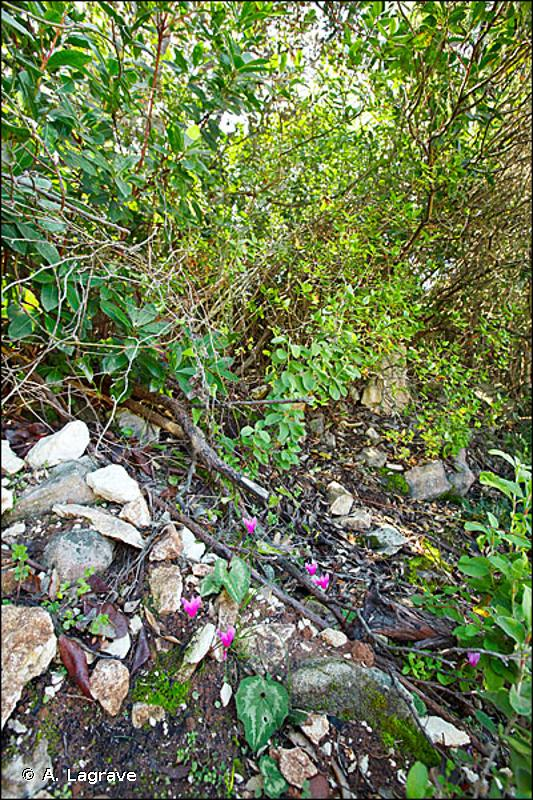 45.315 - Yeuseraies des plaines corses - CORINE biotopes