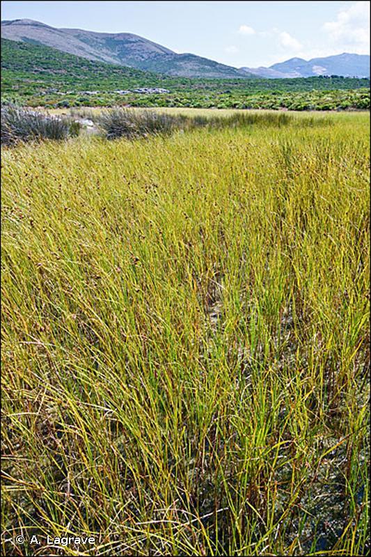 53.17 - Végétation à Scirpes halophiles - CORINE biotopes