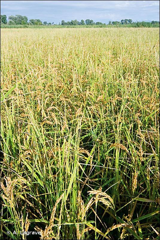 I1.4 - Cultures inondées ou inondables, y compris les rizières - EUNIS