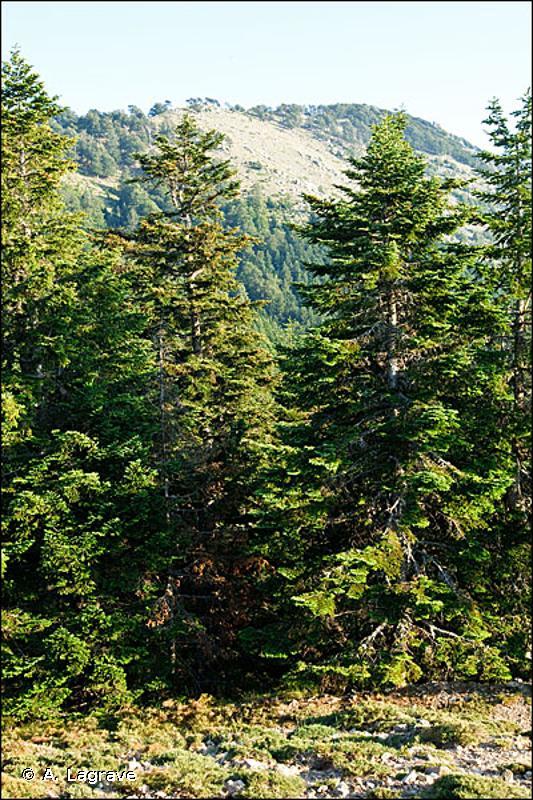 83.311 - Plantations de conifères indigènes - CORINE biotopes