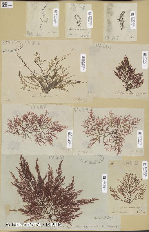 Laurencia obtusa