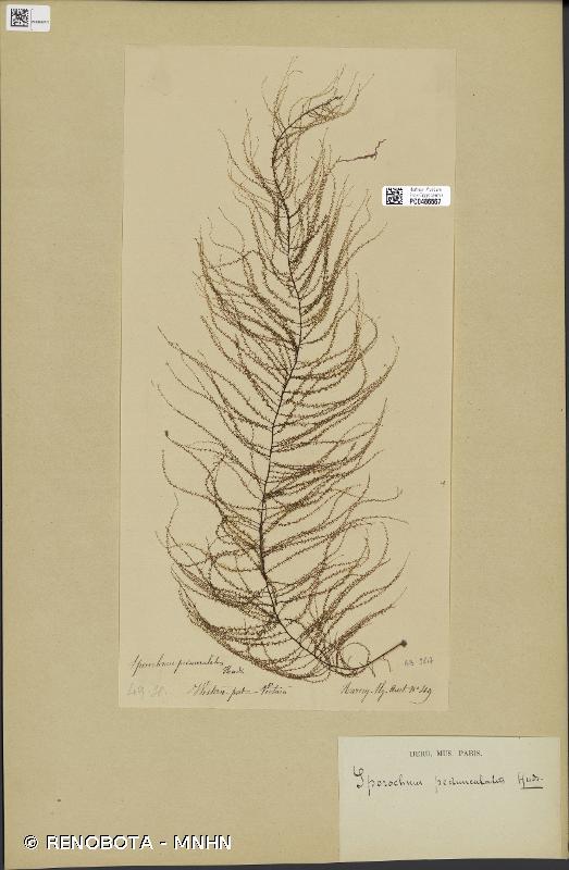 Sporochnus pedunculatus