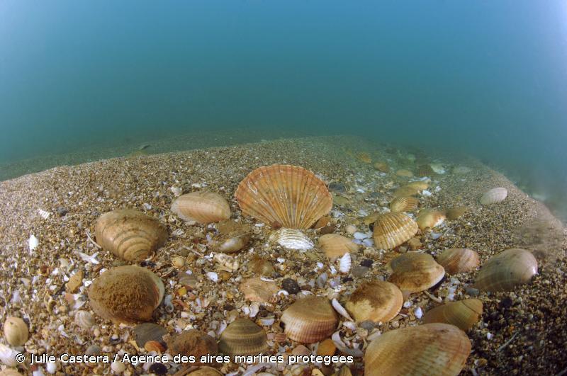 1110-7 - Sables grossiers et fins graviers sous influence des courants de fonds (Méditerranée) - Cahiers d'habitats