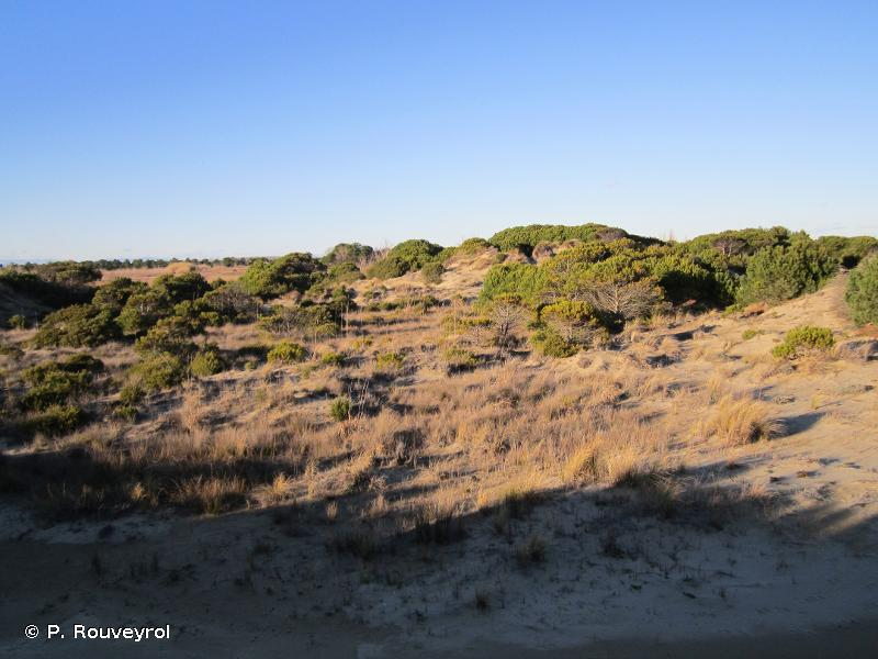 2270-1 - Forêts dunales à Pin parasol (<em>Pinus pinea</em>) - Cahiers d'habitats