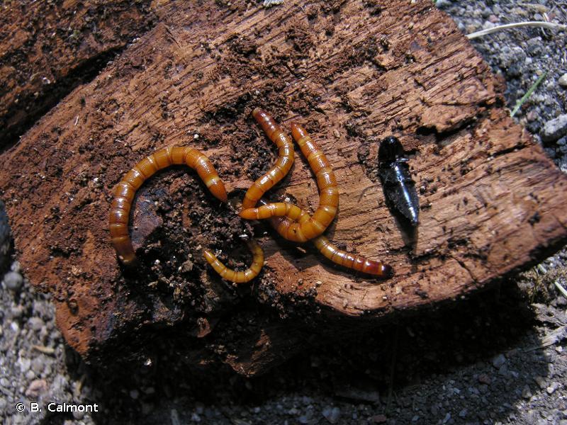 Ampedus nigerrimus