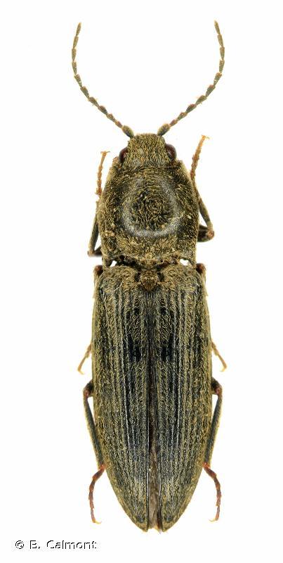 Dicronychus cinereus