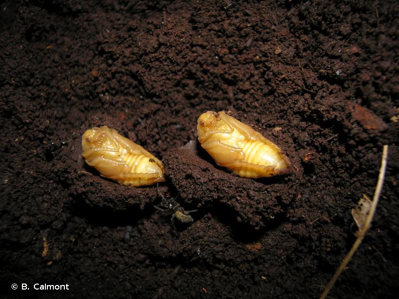 Gnorimus variabilis