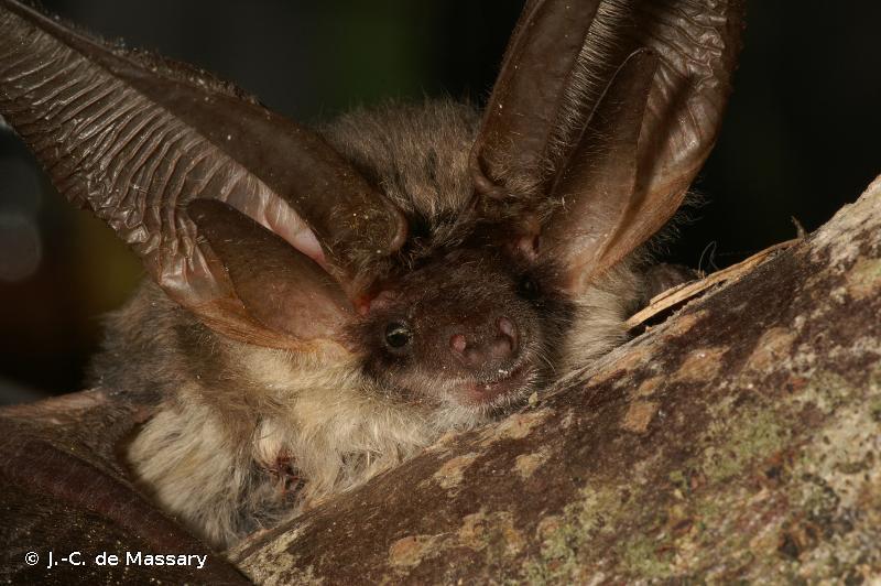 Plecotus austriacus