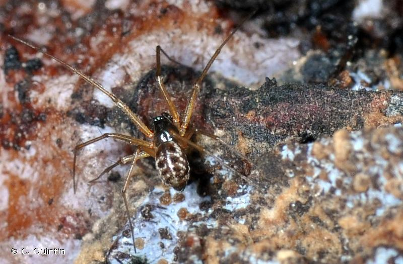 Tenuiphantes tenuis