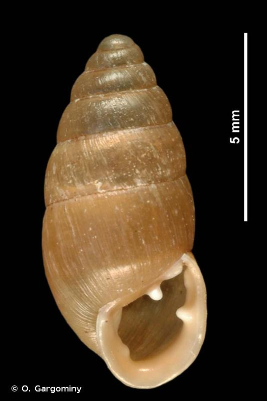Chondrula tridens tridens