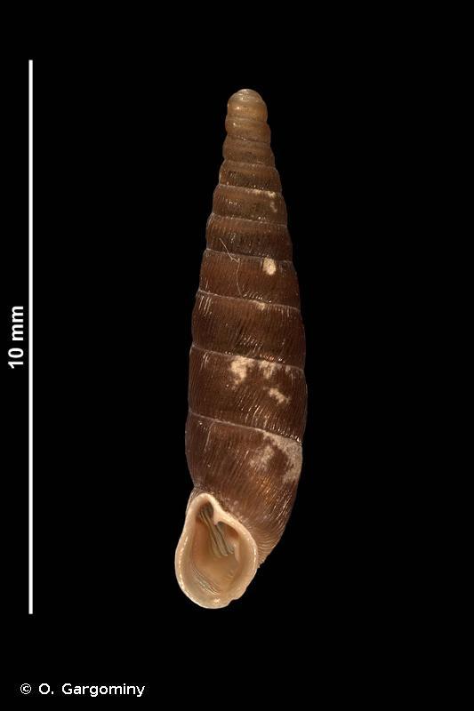 Clausilia rugosa lamalouensis