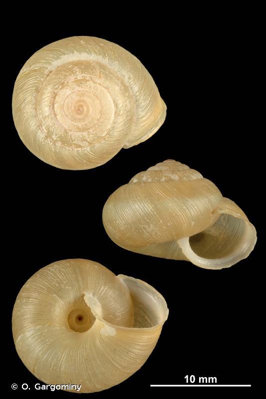 Euomphalia strigella strigella