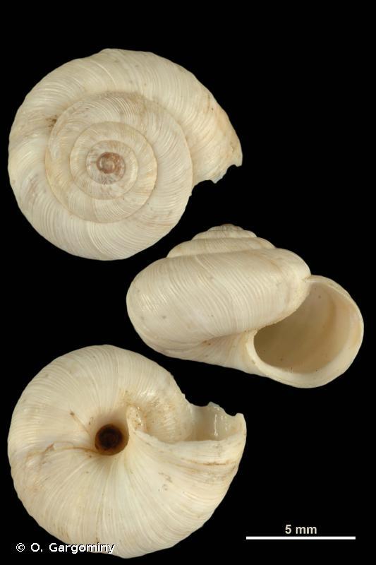 Helicella bolenensis