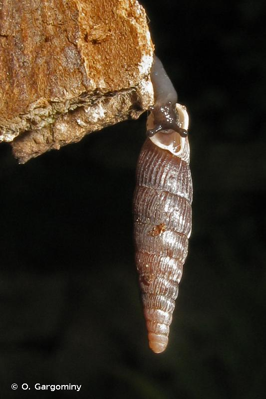Macrogastra plicatula