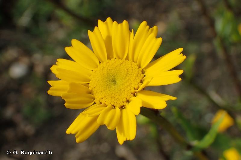 Coleostephus myconis