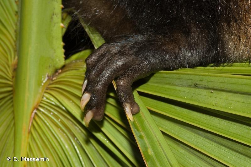 Didelphis marsupialis