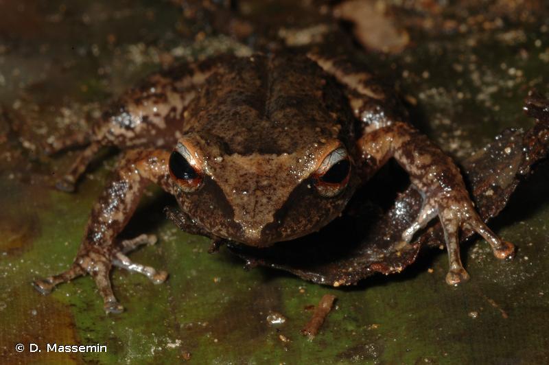 Eleutherodactylus martinicensis