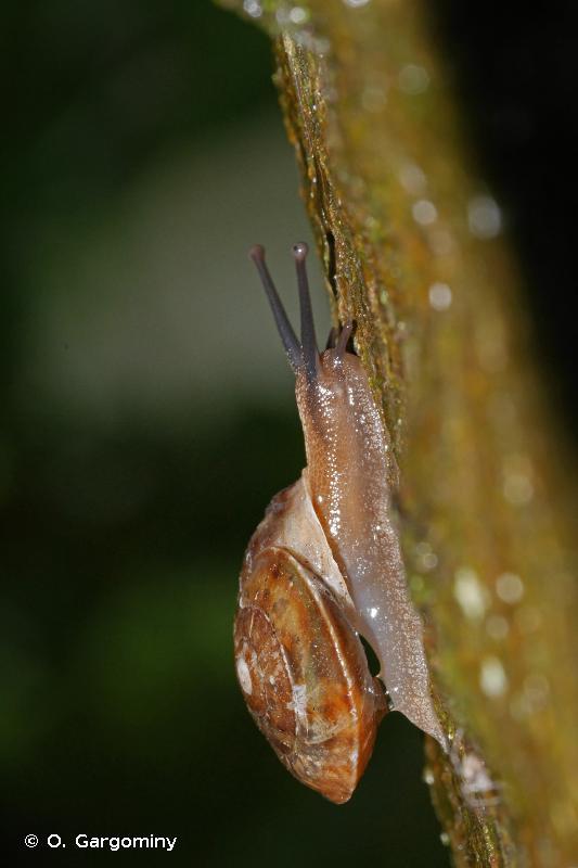 Helicigona lapicida