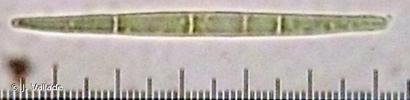 Peltigera rufescens