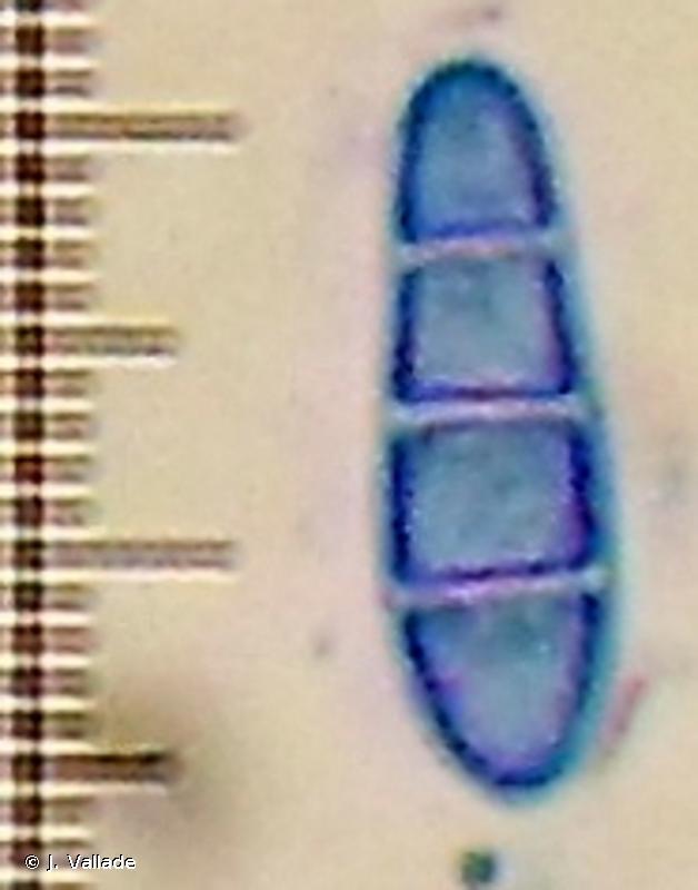 Arthonia trifurcata