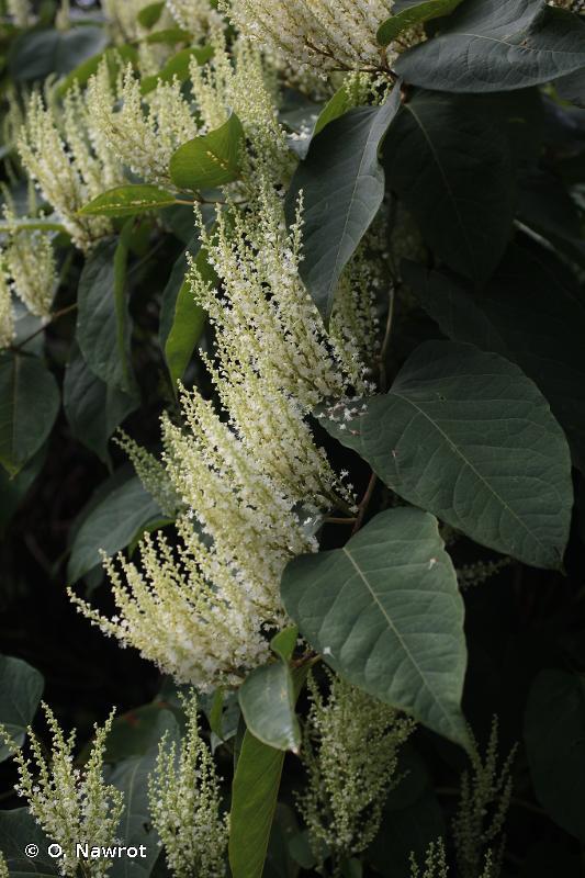 Reynoutria x bohemica