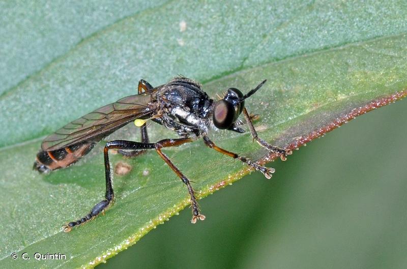 Dioctria hyalipennis