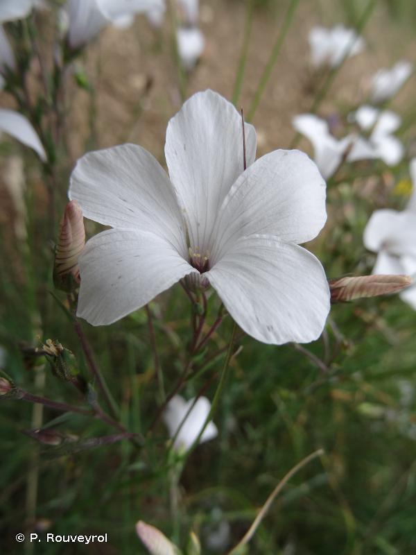 Linum suffruticosum