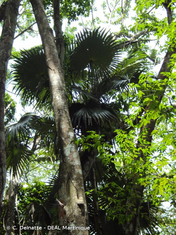 Coccothrinax barbadensis