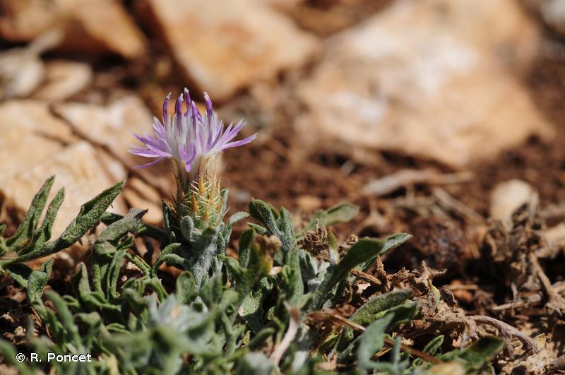 Centaurea paniculata