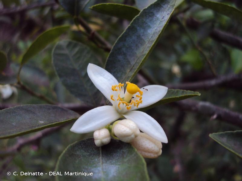 Citrus aurantiifolia