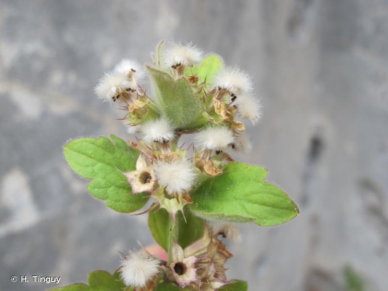 Acanthoprasium frutescens
